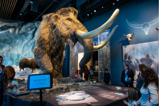 Mammoth exhibit at the Bell Museum with people around the display