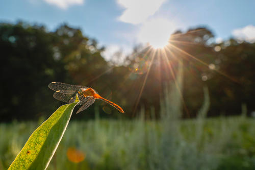 a dragonfly alights on a milkweed leaf i the foreground with sun going through trees in the background
