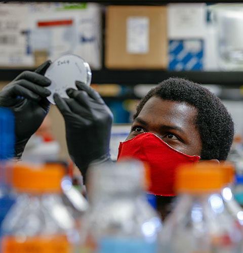 Black male student wearing latex gloves and red face mask examines petri dish in lab setting