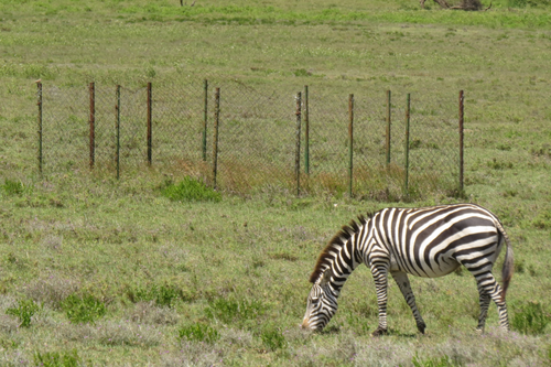 A zebra grazing in a field.