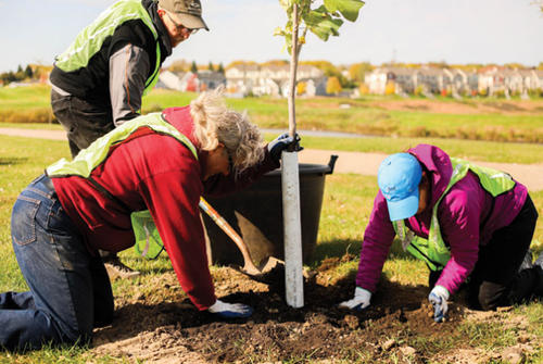 3 people working to plant a young tree