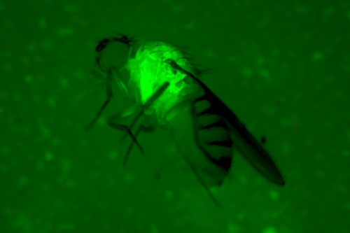 Fruit fly under green fluorescence.