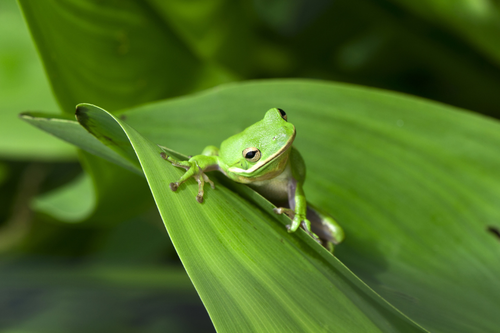 American green treefrog on a leaf.