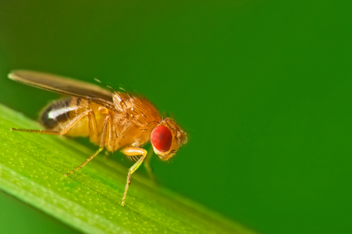 Male fruit fly on a blade of grass.