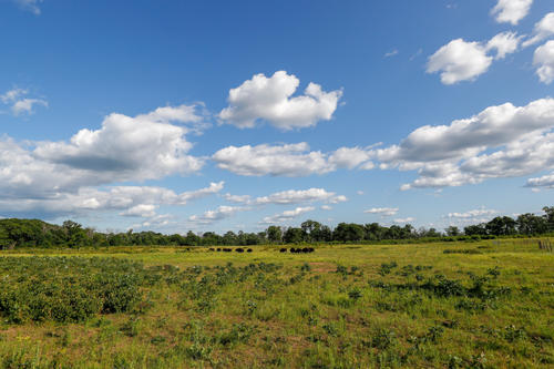 Cedar Creek's prairie with bison grazing