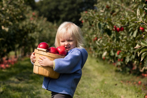 toddler in apple orchard struggling to hold wooden basket of apples