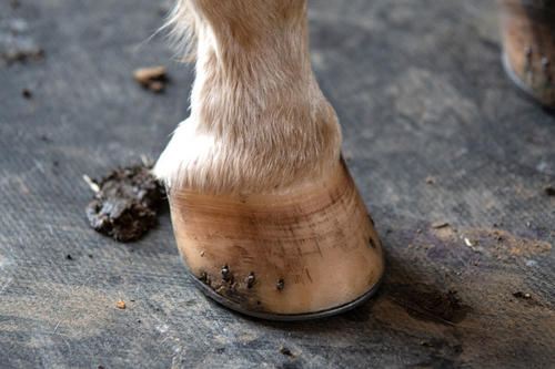 Close-up shot of a horse hoof suffering from laminitis