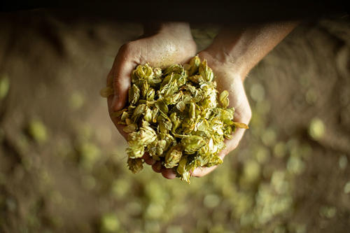 hands holding hops