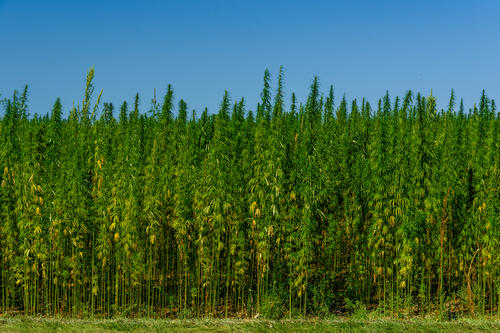 Industrial hemp cropland.