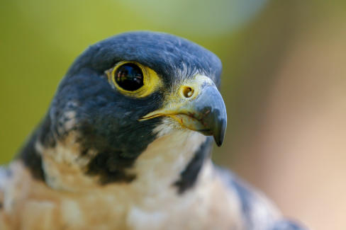 close up image of peregrine falcon